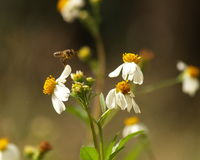The Bee and bidens alba/Spanish Needle. Royalty Free Stock Photo