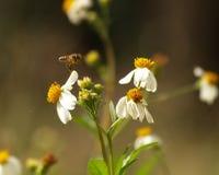 The Bee and bidens alba/Spanish Needle. Royalty Free Stock Photo