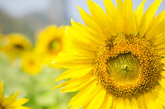 Bee and big sunflower. The little bee on the big sunflower Royalty Free Stock Image