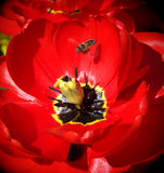 Bee and big tulip Stock Photo