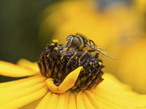 Bee on Black-eyed Susan Royalty Free Stock Photo