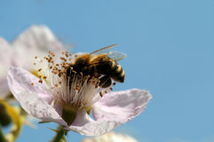 Bee and blackberry. Blooming blackberry with a bee under a blue sky Stock Photography