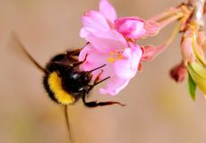 Bee on bloom Stock Image
