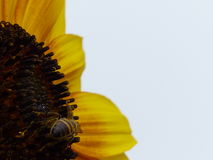 The Bee on the Sunflower Bloom Royalty Free Stock Photos