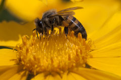 Bee in bloom Royalty Free Stock Photography