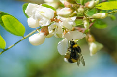 Bee in the bloom Stock Images