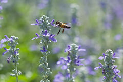 Bee on blooming lavender flowers Stock Photos