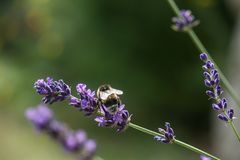 Bee on a blooming lavender stock images