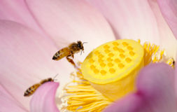 Bee on blooming lotus Stock Photos