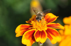 Bee on blooming plants stock photos