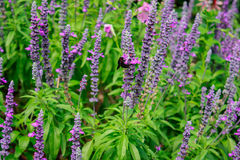 Bee on blooming Salvia Royalty Free Stock Photos