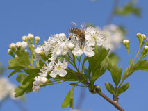 Bee on a blooming spring shrub. Bee on a white blooms. Early spring morning in Varna, Bulgaria Royalty Free Stock Photo