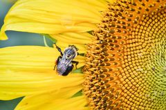 A bee on a blooming sunflower, Jasper, Georgia, USA stock images