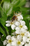 Bee on blooming whitethorn Stock Photo