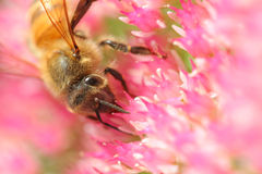 Bee on Blooms Stock Photography