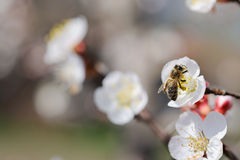 Bee on blossom Stock Images