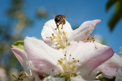 Bee in the  blossom Royalty Free Stock Images