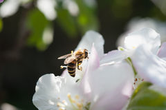 Bee in the blossom Stock Photography