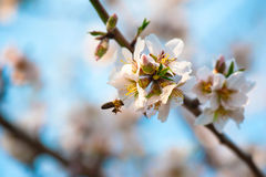 Bee on a blossom almond branch Royalty Free Stock Images