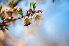 Bee on a blossom almond branch Stock Photography