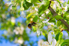 Bee on the blossom apple tree. A bee on the blossom apple tree royalty free stock photo