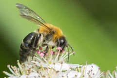 Bee on blossom. A bee on blossom with a green backdrop royalty free stock photos