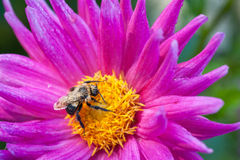 Bee on blossom Royalty Free Stock Photography