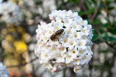 Bee on a blossom in spring Royalty Free Stock Photography