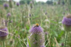 Bee on Blossom Teasel at Summer Meadow
