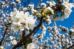 Bee in a blossom on a tree in blue sky background Royalty Free Stock Photo