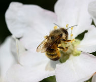 Bee at the blossom tree. Photo image of bee at the blossom tree Royalty Free Stock Image