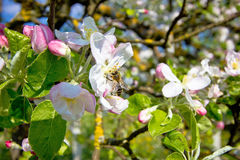 Bee on blossom tree in spring Royalty Free Stock Images