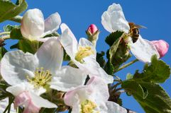 Bee in blossoming apple tree.Working Bee royalty free stock photos