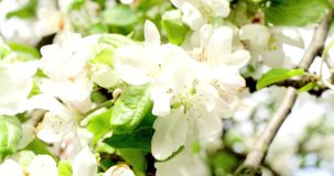 Bee On A Blossoming Branch Of An Apple Tree stock footage