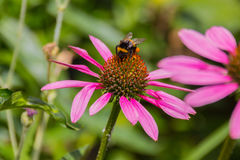 Bee on the blossoming echinacea flowers. Royalty Free Stock Photos