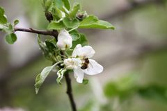 Bee. Blossoming orchards with bees in the spring. Blooming orchard trees. Spring background. Spring orchard on sunlight. Spring. Bee. Blossoming orchards with Royalty Free Stock Image