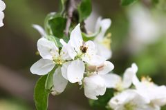Bee. Blossoming orchards with bees in the spring. Blooming orchard trees. Spring background. Spring orchard on sunlight. Spring. Bee. Blossoming orchards with Stock Image
