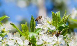 Bee on a blossoming plum. A bee collects nectar from flowering plum royalty free stock photos