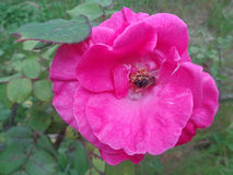 Bee in blossoming rose royalty free stock photography