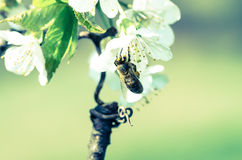 Bee Royalty Free Stock Photography