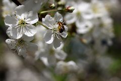 Bee on blossoms cherry royalty free stock photos