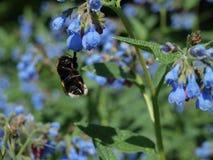 Bee and blue bell flower Imagen de archivo libre de regalías