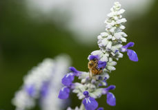 Bee on a Blue Bonnet Royalty Free Stock Images