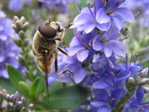 Bee on blue flower. Bee on blue hebe flower Royalty Free Stock Images