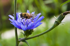 Bee on a blue flower Royalty Free Stock Photo