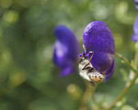 The bee  on a blue flower. Stock Images