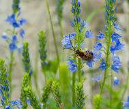 Bee on blue flower Stock Photo
