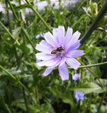 Bee on blue flower of chicory ordinary summer day.  stock photography