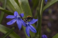 Bee on a blue flower close up royalty free stock photos