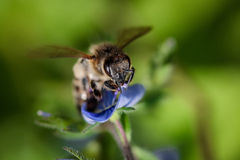 Bee on a blue flower collecting pollen and gathering nectar to p Royalty Free Stock Photo